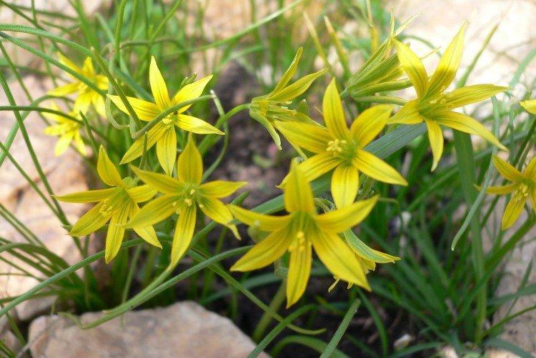 Гусиный лук - Луговые и полевые цветы