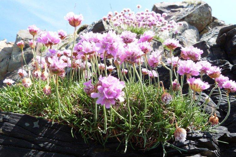 Армерия - Луговые и полевые цветы