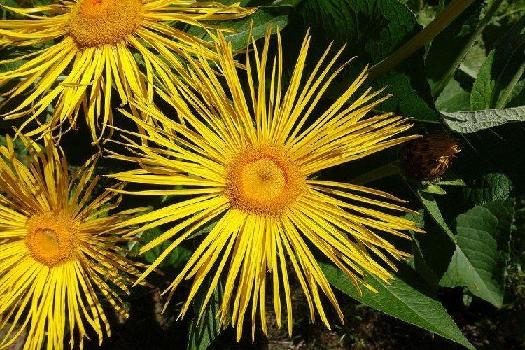 Девясил - Луговые и полевые цветы