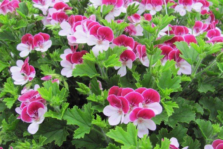 Герань - Луговые и полевые цветы