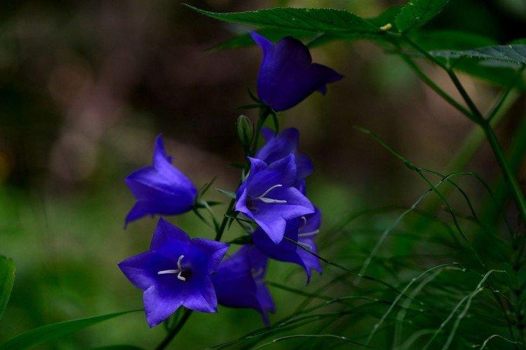 Колокольчик - Луговые и полевые цветы