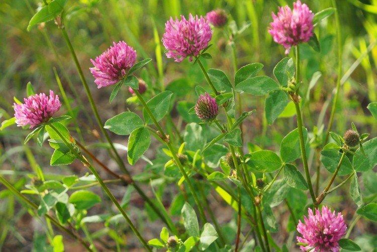 Клевер - Луговые и полевые цветы