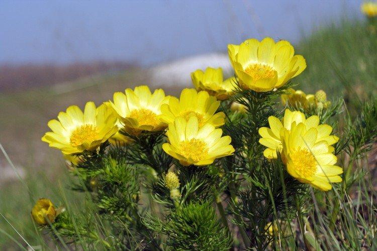 Горицвет - Луговые и полевые цветы