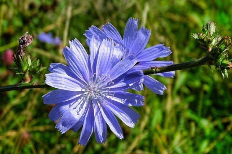 Цикорий - Луговые и полевые цветы