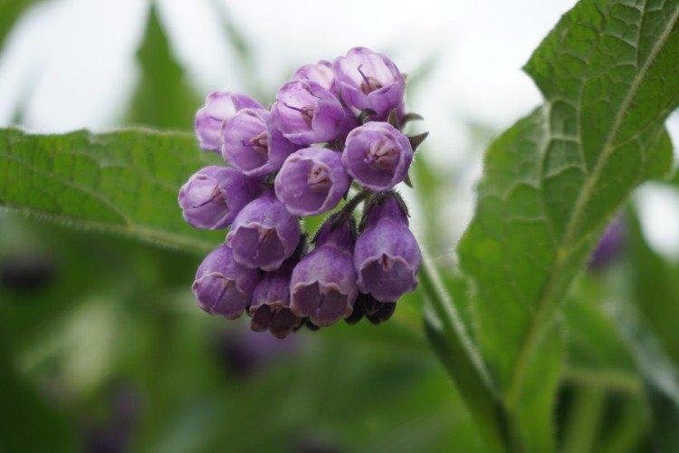 Живокость - Луговые и полевые цветы