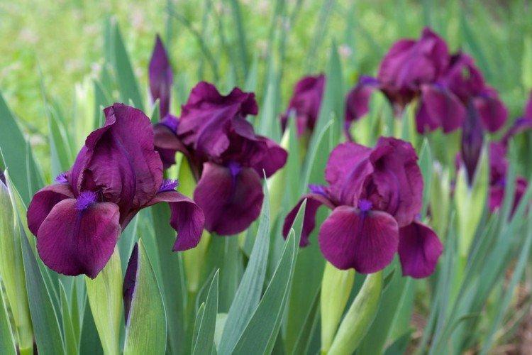 Ирис - Луговые и полевые цветы
