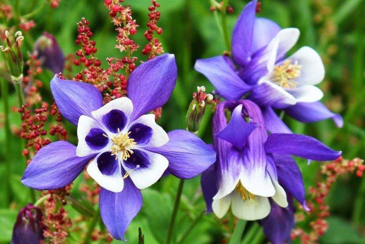 Аквилегия - Луговые и полевые цветы