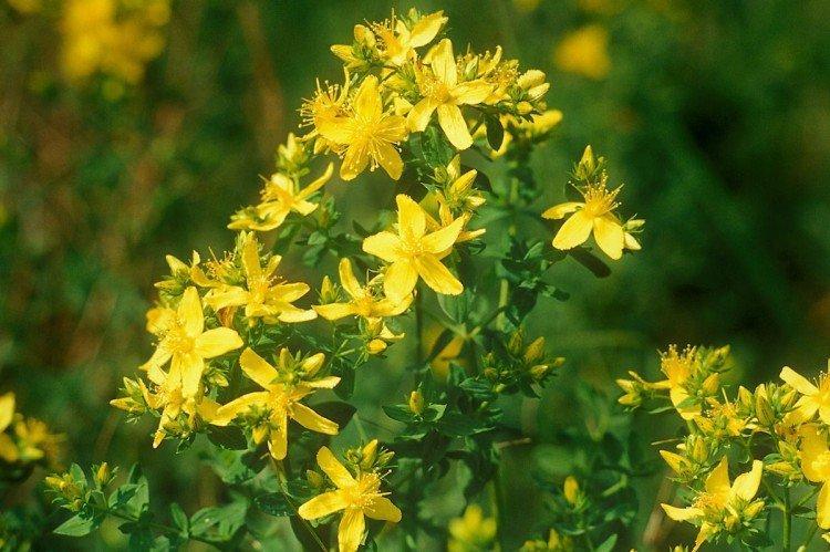 Зверобой - Луговые и полевые цветы