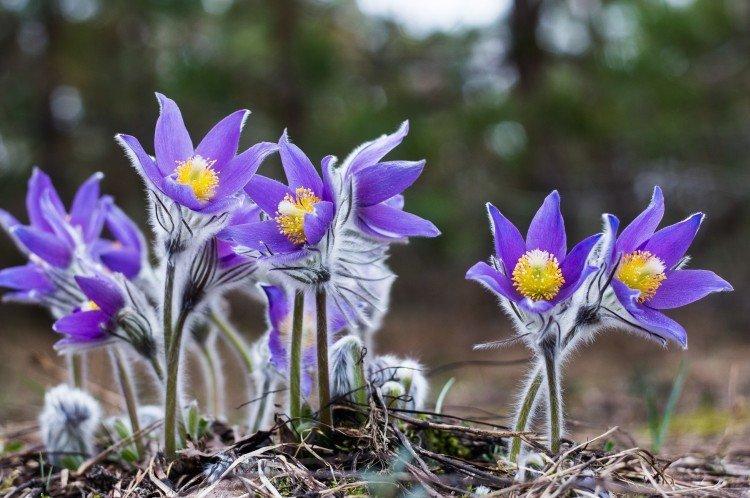 Прострел - Луговые и полевые цветы