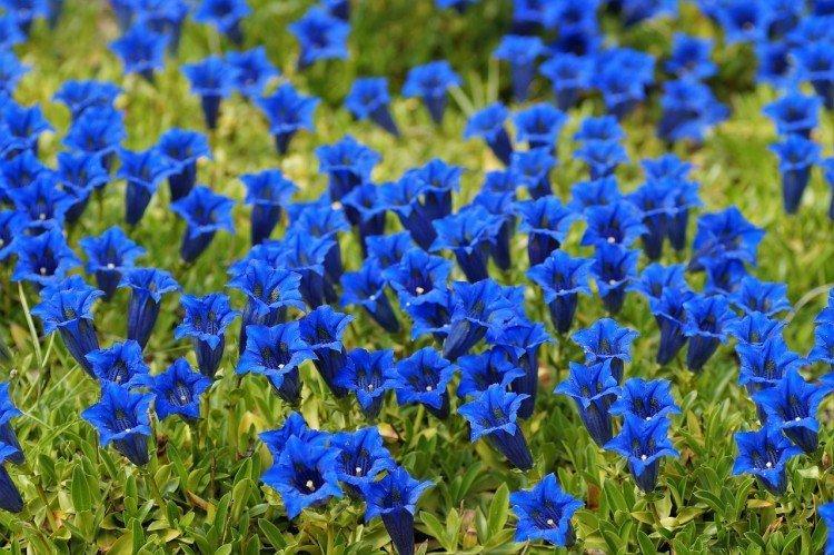 Горечавка - Луговые и полевые цветы