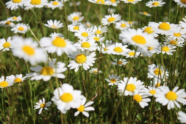 Ромашка - Луговые и полевые цветы