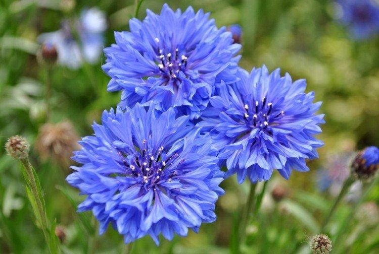 Василек - Луговые и полевые цветы
