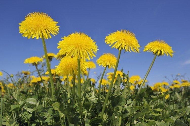 Одуванчик - Луговые и полевые цветы