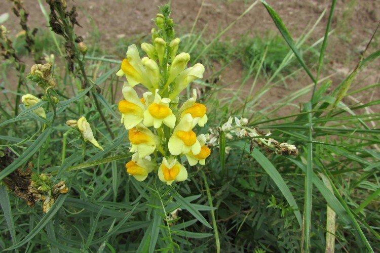 Льнянка - Луговые и полевые цветы