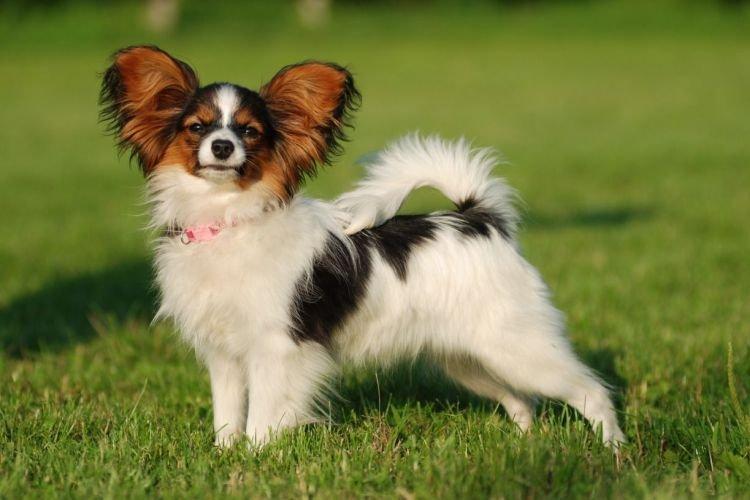 Папильон - Маленькие породы собак для квартиры