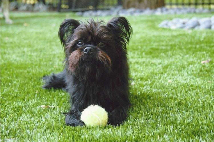 Аффенпинчер - Маленькие породы собак для квартиры