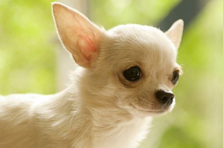 Чихуахуа - Маленькие породы собак
