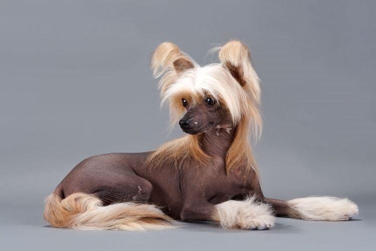 Китайская хохлатая - Маленькие породы собак