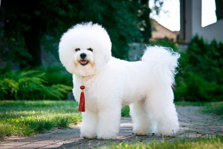 Бишон фризе - Маленькие породы собак