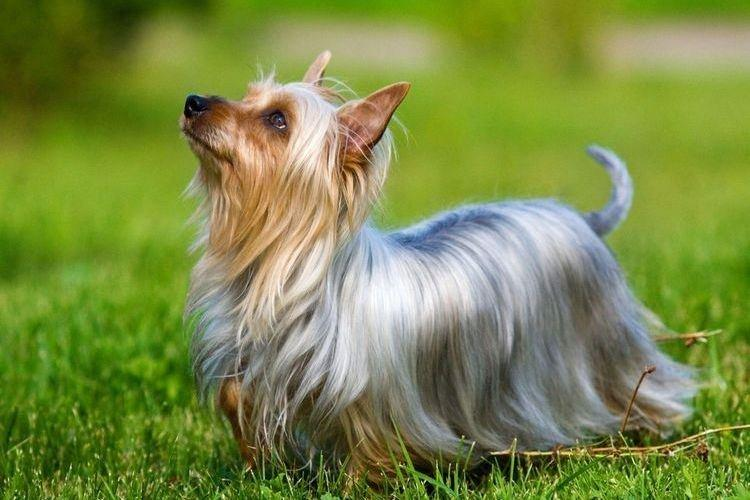 Австралийский шелковистый терьер - Маленькие породы собак