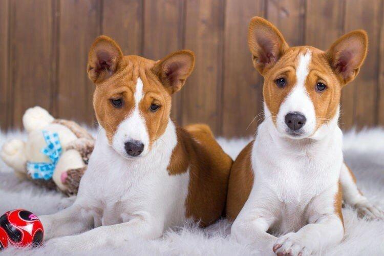 Басенджи - Маленькие породы собак
