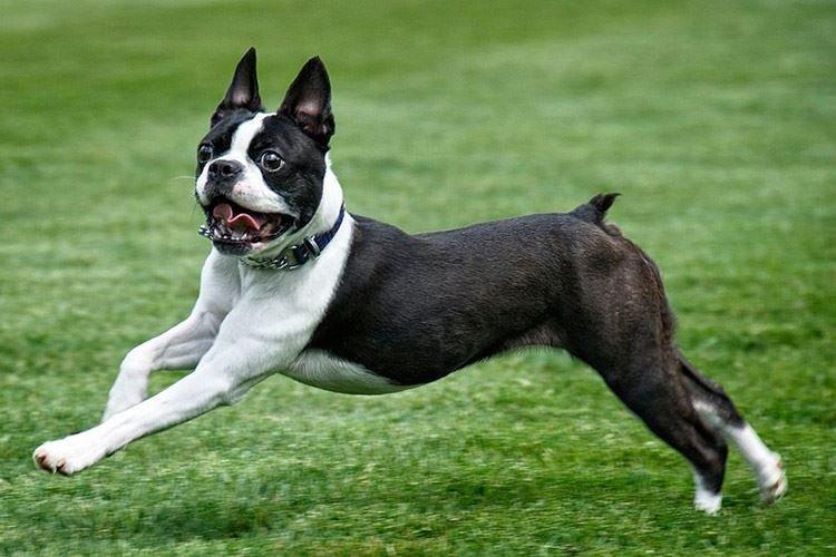 Бостон терьер - Маленькие породы собак
