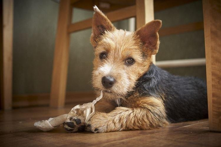 Норвич терьер - Маленькие породы собак