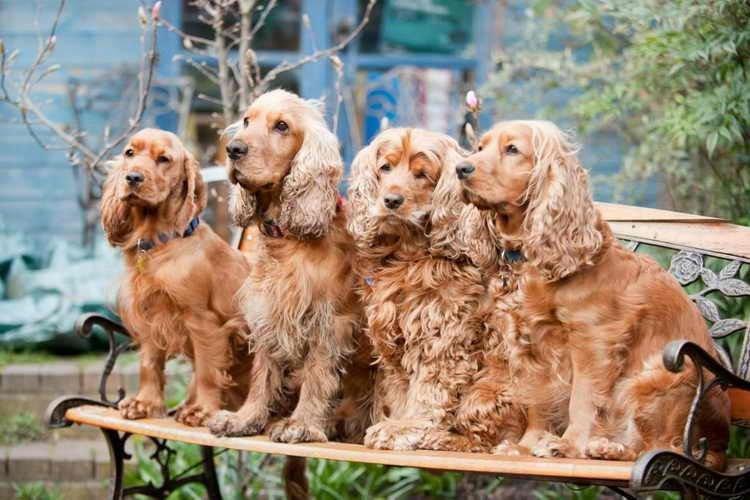 Кокер-спаниель - Маленькие породы собак