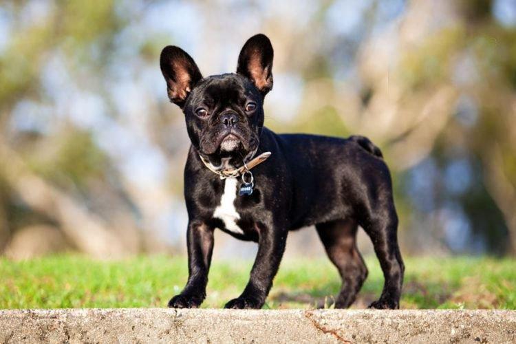 Французский бульдог - Маленькие породы собак