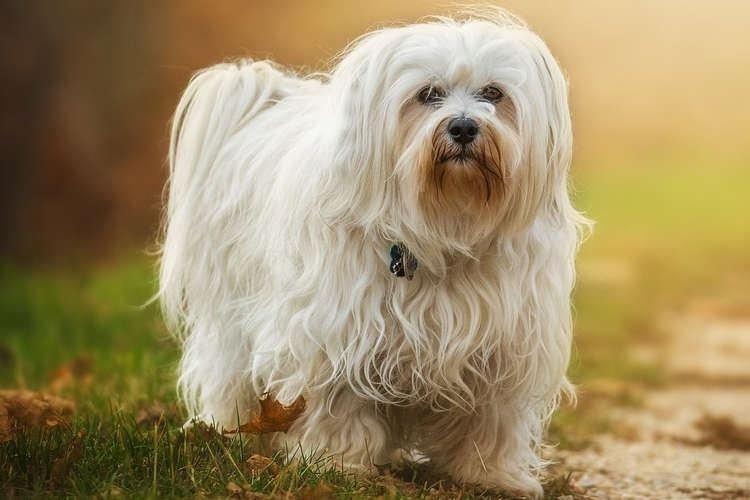 Болоньез - Маленькие породы собак