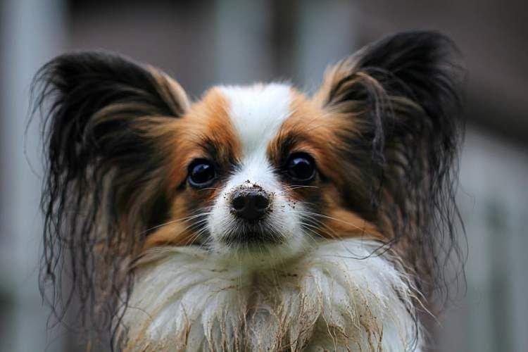 Папильон - Маленькие породы собак