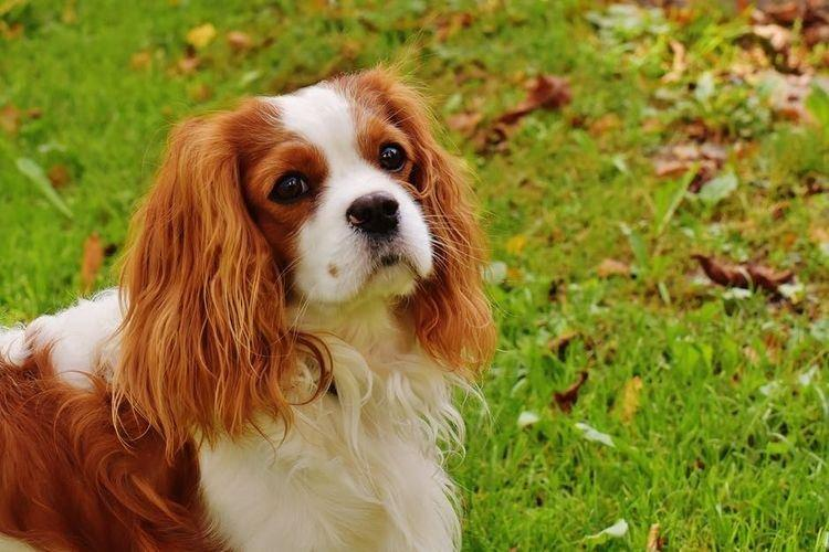 Кавалер Кинг Чарльз спаниель - Маленькие породы собак