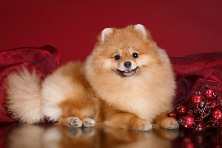 Померанский шпиц - Маленькие породы собак