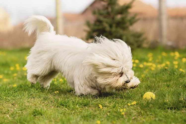 Котон де Тулеар - Маленькие породы собак