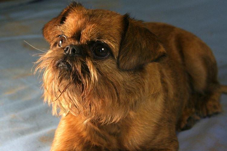 Брюссельский гриффон - Маленькие породы собак