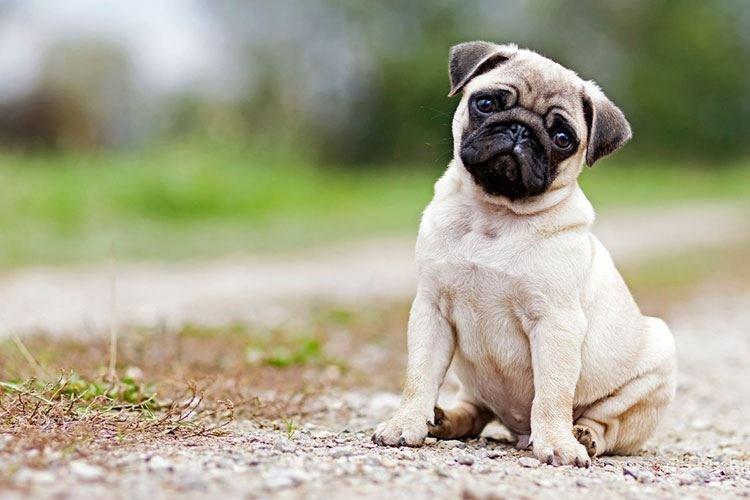 Мопс - Маленькие породы собак