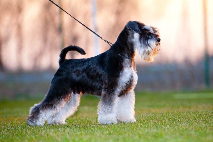 Цвергшнауцер - Маленькие породы собак