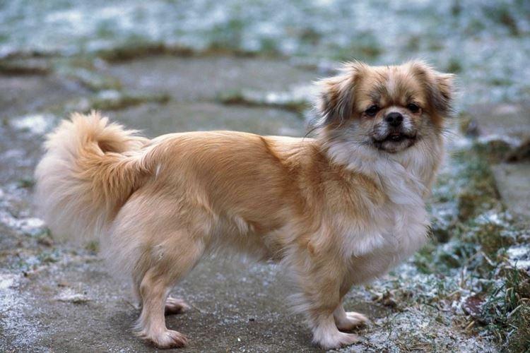 Тибетский спаниель - Маленькие породы собак