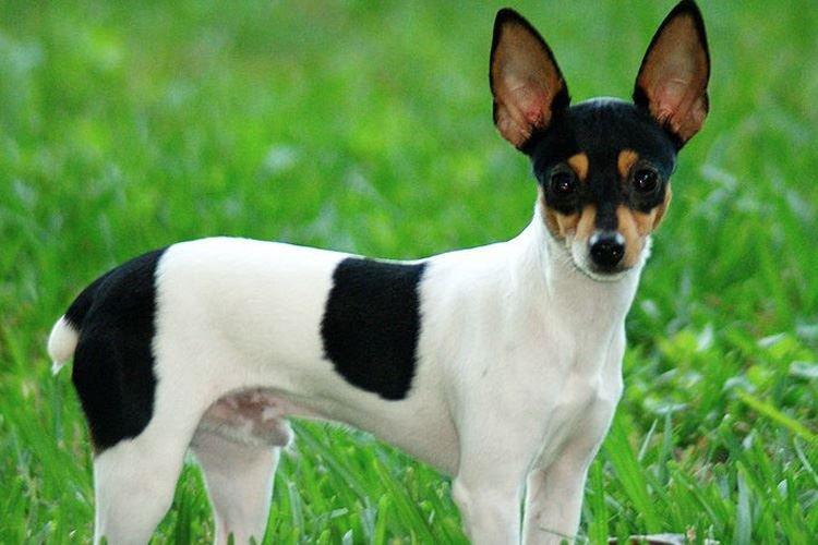 Той фокстерьер - Маленькие породы собак