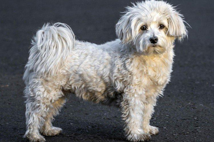 Гаванский бишон - Маленькие породы собак