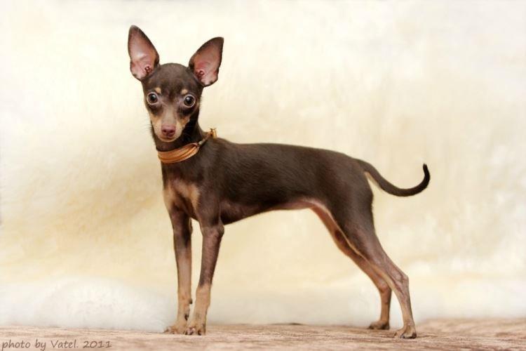 Пражский крысарик - Маленькие породы собак