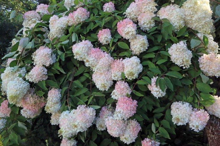 Грандифлора - Сорта метельчатой гортензии