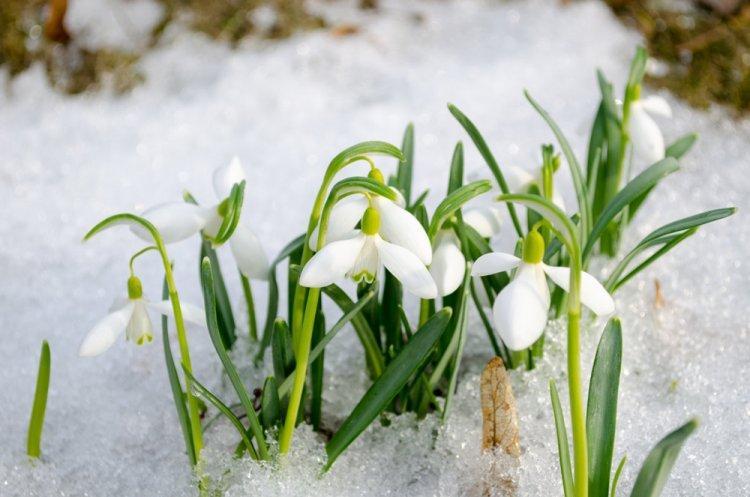 Подснежники - Многолетние цветы для дачи