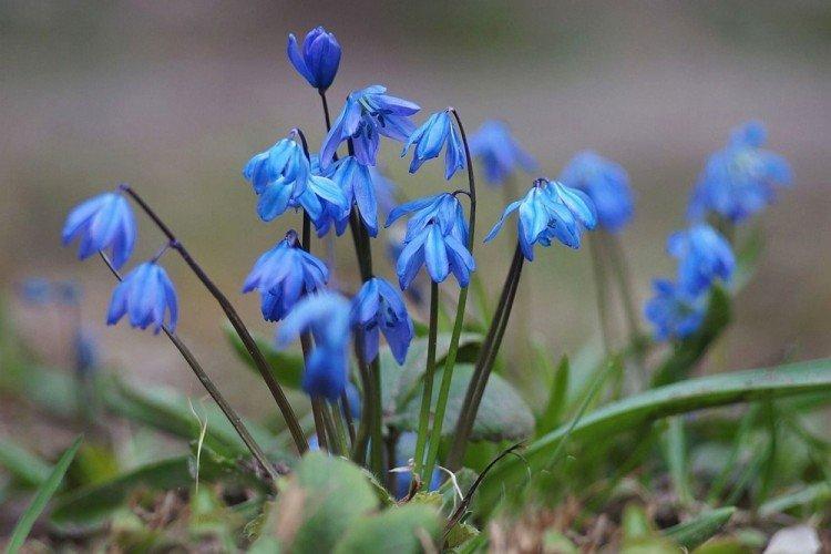 Пролески - Многолетние цветы для дачи