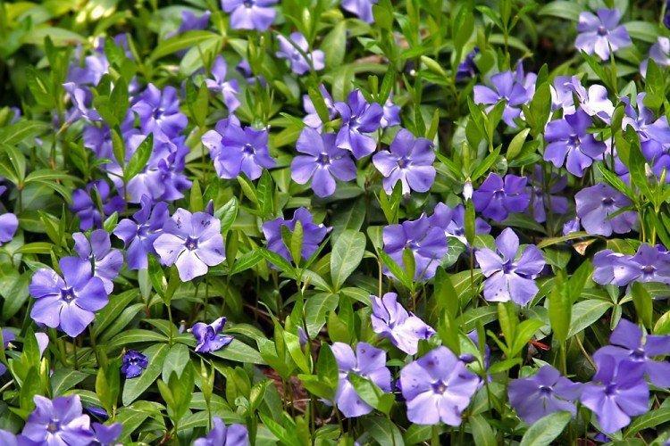 Барвинок - Многолетние цветы для дачи