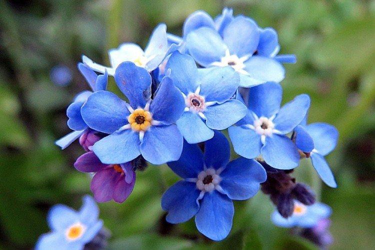 Незабудки - Многолетние цветы для дачи