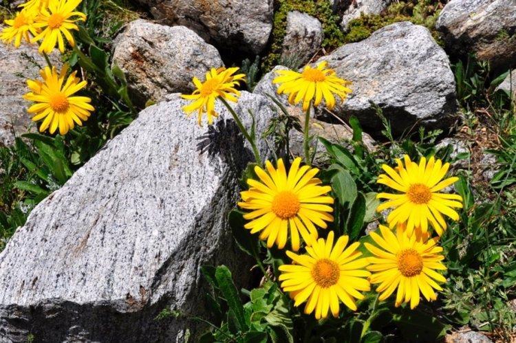 Арника - Многолетние цветы для дачи