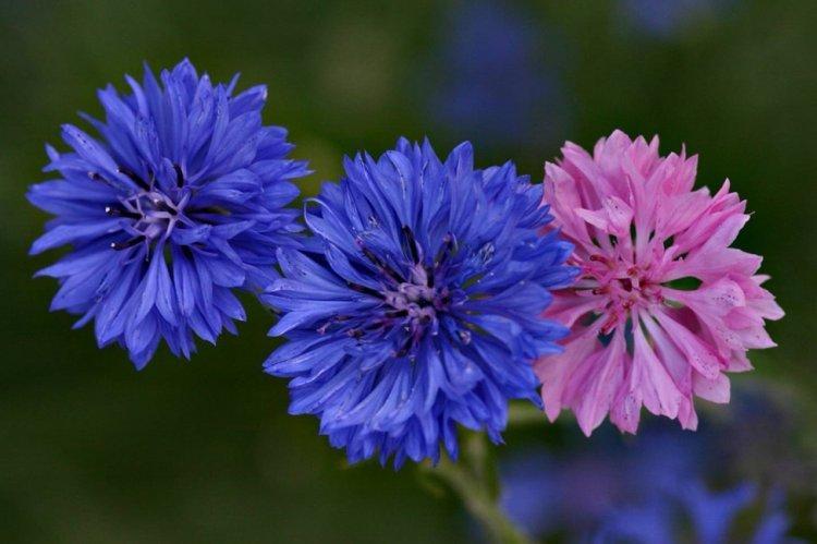 Васильки - Многолетние цветы для дачи