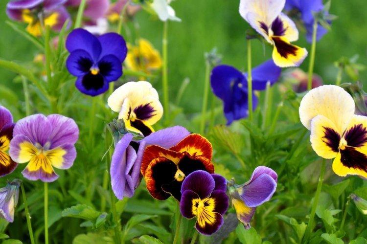 Анютины глазки - Многолетние цветы для дачи