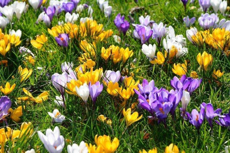 Крокусы - Многолетние цветы для дачи
